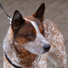 Red heeler, AKA Australian Cattle Dog. This breed is among the healthiest, long-lived, and active breeds.