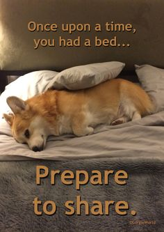 """""""Prepare to share."""" - cute Pembroke Welsh Corgi Hummer, staking out the queen bed."""
