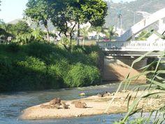 Capivaras no Rio Paraibuna
