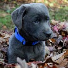 Charcoal Lab Pup- reminds me of Huck. Miss it when he was this little!