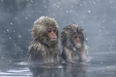 A pair of Japanese macaques (Snow monkeys) sitting in a hot water spring in Jigokundani Monkey Park in Yamanouchi, Japan. Photograph by Julia Wimmerlin/ Solent Animals Of The World, Animals And Pets, Baby Animals, Funny Animals, Cute Animals, Primates, Mammals, Wildlife Photography, Animal Photography