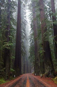 A road running through the Redwood forest.
