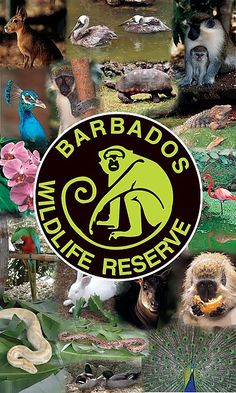 The Barbados Wildlife Reserve occupies four acres of mahogany forest. Come, and take a relaxing stroll through a natural habitat for many animals.