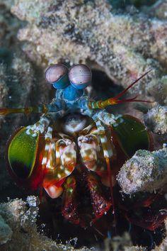 Mantis Shrimp...⭐...
