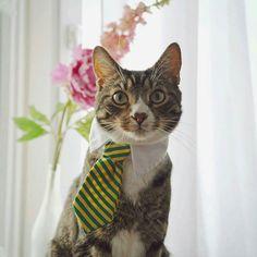 #Cats  #Cat  #Kittens  #Kitten  #Kitty  #Pets  #Pet  #Meow  #Moe  #CuteCats  #CuteCat #CuteKittens #CuteKitten #MeowMoe      Much business ...   https://www.meowmoe.com/52199/