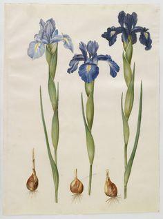 Botanical | Science Illustration | Floral |