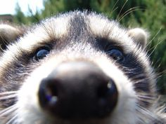 Get awesome Raccoons HD images in each new Chrome tab!
