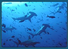 Apparently you can scuba dive with hammerhead sharks in the galapagos.