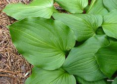 Zielono Zakręceni: Funkia (Hosta) Vilmoriniana (1/1)