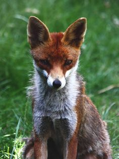 Red Fox by flambard