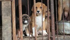 What really happens during China's Yulin Dog Meat Festival? How many dogs are killed? Where do they come from? Is it true dogs are tortured first? Our Cat and Dog Welfare team in China provides the answers.