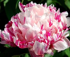 """Peony - 'Raspberry Clown' It's a semi-double with intense raspberry streaking and blotching; fragrant and unusual! A mid bloomer; 34"""""""