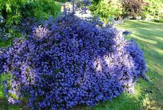Ceanothus 'blue mound' to form evergreen structure on bank Summer Bulbs, Spring Bulbs, Hello Hello Plants, California Lilac, Dark Blue Flowers, Specimen Trees, Pacific Blue, Back Gardens