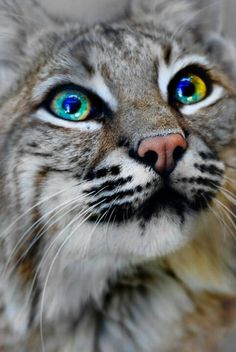 Bobcats have Benedict Cumberbatch eyes!!