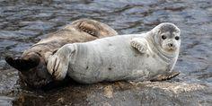 Saimaa ringed seal lives only at one lake in the world, Lake Saimaa, Finland.