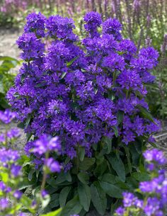 Freya Bellflower (Campanula glomerata Freya) at Wayside Gardens Colorful Flowers, Purple Flowers, Beautiful Flowers, White Flowers, Cottage Garden Plants, Garden Shrubs, Witch's Garden, Garden Bulbs, Garden Ideas