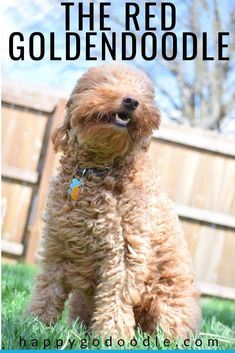 Curious about the red Goldendoodle? The Goldendoodle's red coat is just one of the doodle dog's cute qualities. Check out these 7 things about the red Goldendoodles that you may not know. Goldendoodle Names, Mini Goldendoodle, Standard Goldendoodle, Poodle Mix Breeds, Cute Dogs Breeds, Bernedoodle Puppy, Goldendoodles, Cute Puppy Meme, Really Cute Puppies