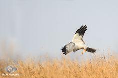 Flight Down - FLIGHT DOWN Kornweihen   Northern Harrier   Circus Cyaneus  Kornweihen Mänchen im Sturzflug auf die Maus.  Viel Spaß beim Betrachten, Teilen und Liken des Fotos.  ----------  Male Northern Harrier dive to the mouse.  Enjoy watching and feel free to share and like the photo!  EOS 1D Mk III, EF500 f/4L IS USM +1.4x, 1/1600s, f/5.6, ISO 320