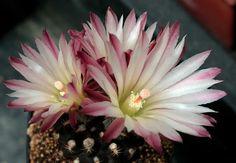 Eriosyce esmeraldana - Flickr - Photo Sharing!