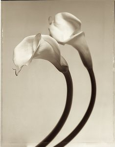 Calla Lillies  drew the one in front... not exactly what I intended, but not terrible... ;)
