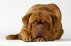 dogue de Bordeaux....awww cutie!!
