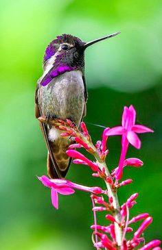 Costas Hummingbird ~ Stunning nature