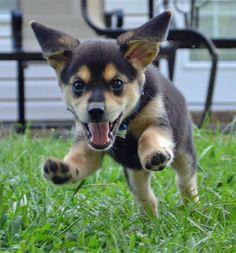 Ralphie the Mixed Breed -- Puppy Breed: Beagle / Miniature Pinscher / Mixed