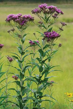 Ironweed (Vernonia fasciculata)  Light:	Full Sun Soil:	Sand, Loam, Clay Moisture:	Moist Benefits:	Butterflies, Pollinators, Birds,  Height:	4'-6' Blooms:	Jul, Aug, Sep Zones:	3 to 7 Color:	Red, Purple