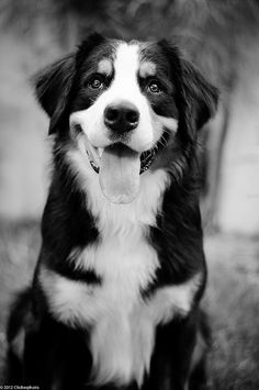 Aslam (Bernese Mountain Dog) by Clickerphoto, via Flickr #Dog Pined by http://Barkingstud.com