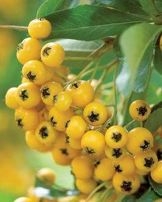 . Yellow Flowers, Garden Plants, Evergreen, Shrubs, Still Life, Berries, Seeds, Gardening, Gardens