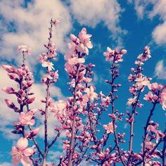 Almendros en flor en Alcalalí, Costa Blanca, Comunidad Vaelnciana #alcalalienflor