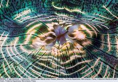 Irisierender Mantel einer Riesen_Muschel, Tridacna Squamosa, Mikronesien, Palau, Iridescent Mantle of Giant Clam, Tridacna Squamosa, Micronesia, Palau