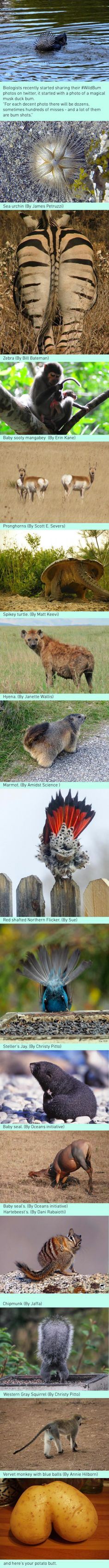 #wildbum - Biologists can't stop sharing fabulous animal booties