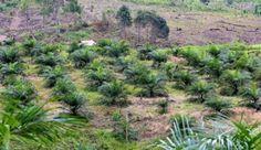 Land cleared for oil palm plantation, East Kalimantan, Indonesia. Photo courtesy of CIFOR/Mokhamad Edliadi.
