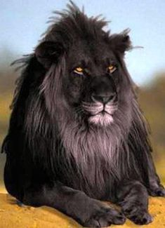 "Black lion: ""The opposite of albinism called melanism, a recessive trait where the skin and fur are all black"""