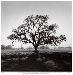 oak tree by ansel adams