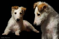Borzoi, the best breed in the world.