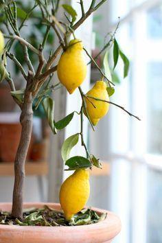 Zitronenbaum Pflege - So züchten Sie richtig einen Zitronenbaum
