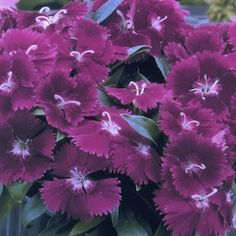 Dianthus, Ideal Violet Amazing Flowers, Love Flowers, Violet Garden, Seeds For Sale, Outdoor Flowers, Flower Names, Annual Flowers, Annual Plants, All Things Purple
