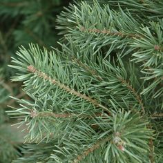 Pinus sylvestris 'French Blue' and many other plants like it are available at Arts Nursery