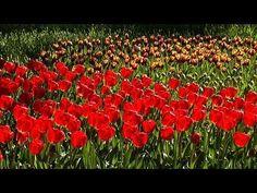 チューリップとネモフィラ Tulips and Nemophila