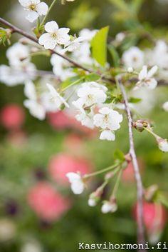 Kirsikkapuu_Kasvihormoni.fi-9 Small Gardens, Trees, Plants, Little Gardens, Plant, Home Decor Trees, Wood, Small Backyards, Planting