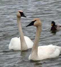 Tundra Swans are the most rare of the swan species