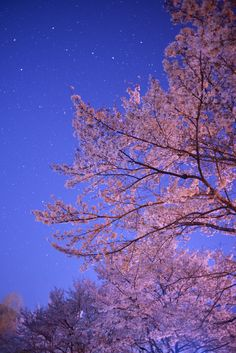 Cherry Blossom, Okayama, Japan