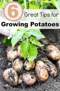 Growing Vegetables 6 Great Tips for Growing Potatoes in your Garden- Grow your own harvest of potatoes with these useful gardening tips including easy hacks for planting, watering, and pest control. Slugs In Garden, Garden Pests, Organic Vegetables, Growing Vegetables, Organic Insecticide, Planting Potatoes, Potatoes Growing, How To Plant Potatoes, Organic Gardening Tips
