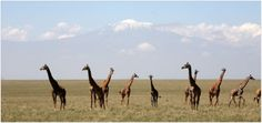 A tower of Giraffe Below Kilimanjaro –photo by head guide Sekiewere - Great Plains Conservation