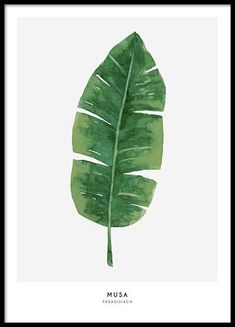 A botanical poster with illustration of monstera leaves on a light background. Nice print that looks good on a picture wall with other botanical prints. More prints online can be found at desenio. Watercolor Flowers, Watercolor Art, Painting Digital, Gold Poster, Plakat Design, Leaf Drawing, Plant Art, Plant Illustration, Modern Art Prints