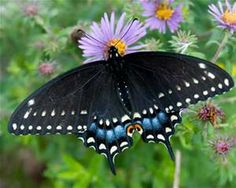 Black Swallowtail Butterfly - Bing Images