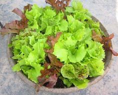 Indoor Container Gardening lettuce in container - Growing vegetables in containers is possible but there are some that grow easily and produce heavily in containers. Due to this we've added 20 Best and Most Productive Vegetables to grow in pots. Easy Vegetables To Grow, Garden Pests, Garden, Container Plants, Growing Carrots, Organic Fertilizer, Growing Vegetables, Container Gardening, Container Gardening Vegetables