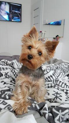 Yorkie SISI sweet Little dog york
